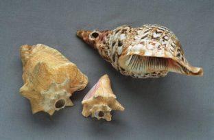shell musical horns © Ancient Music Ireland